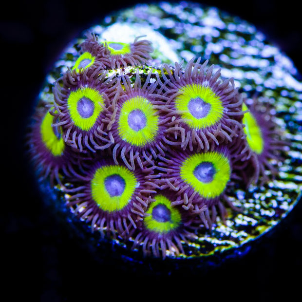 Nuclear Halos Zoanthids - Daylight Photo