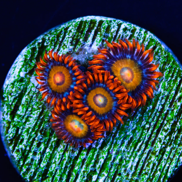 Blondies Zoanthids - Daylight Photo
