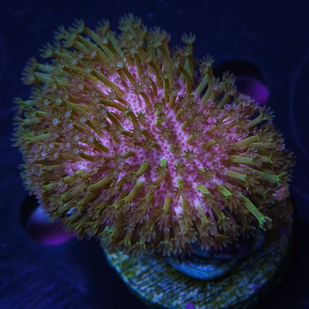 WWC Green Polyp Toadstool Leather - Daylight Photo
