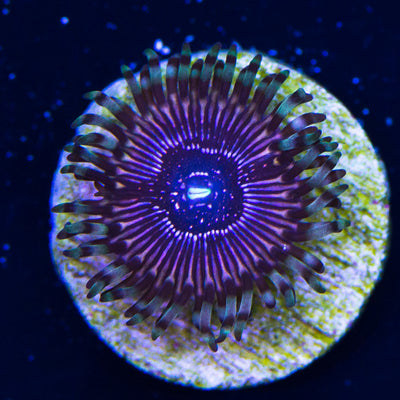 WWC Superstar Zoanthids - Daylight Photo