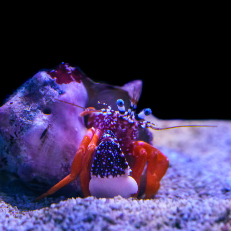 Polka Dot Hermit Crab - Daylight Photo