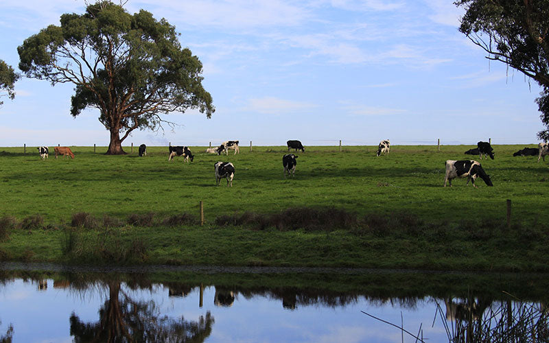 Grass Fed Australia dairy cows