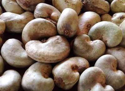 Raw Cashew Nuts Kernel