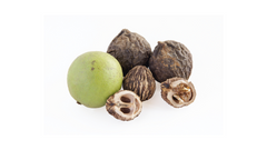 can dogs eat walnuts poisoning black walnuts