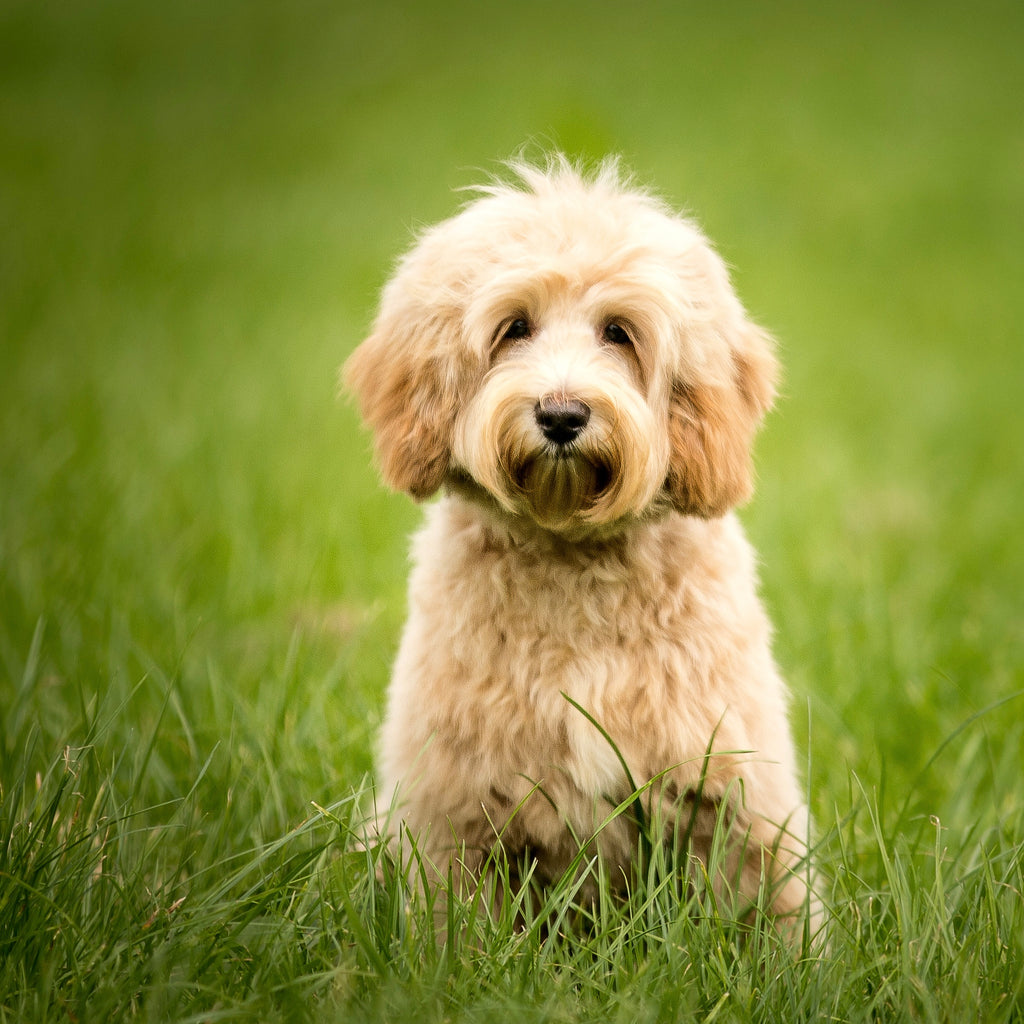 Cute cream fleece coated Australian Cobberdog in grass waiting for his Kangadoodle dog food