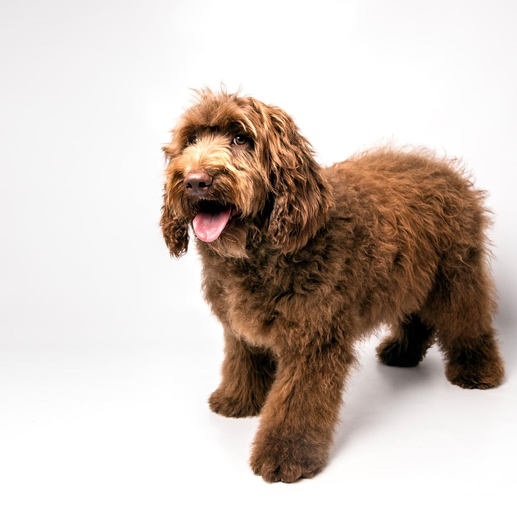 A slightly overweight, fat labradoodle with chocolate red curly fleece coat with ginger highlights