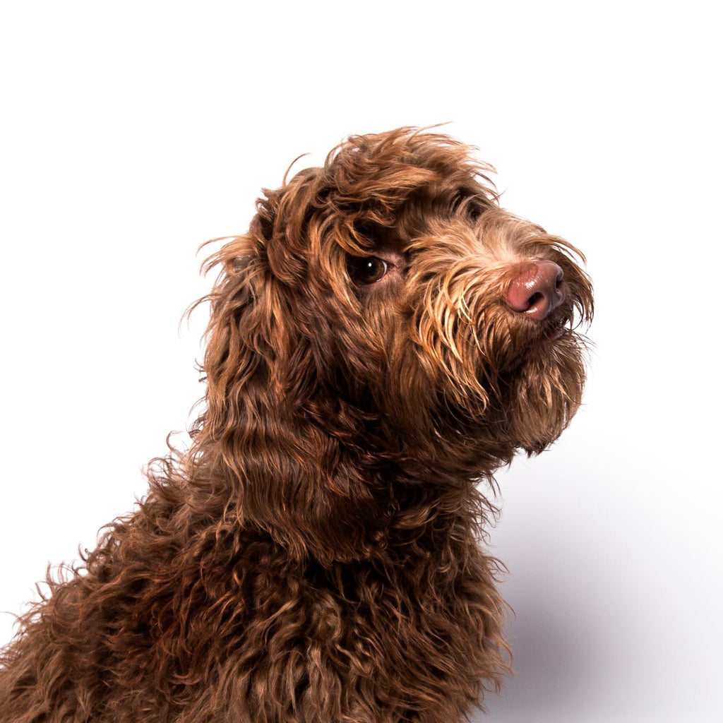 Australian Labradoodle chocolate colour with fleece coat waiting for grain free dog food