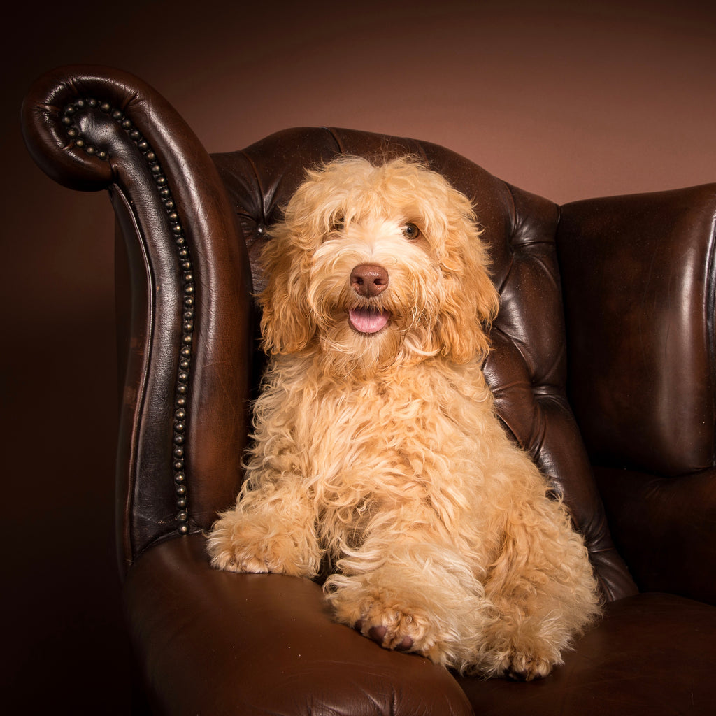 Cute fleece Australian Labradoodle who loves Designer Dog Foods dry complete food Beefcakes