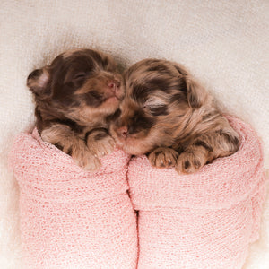 Baby Merle Labradoodle Puppies in a baby pink blanket.