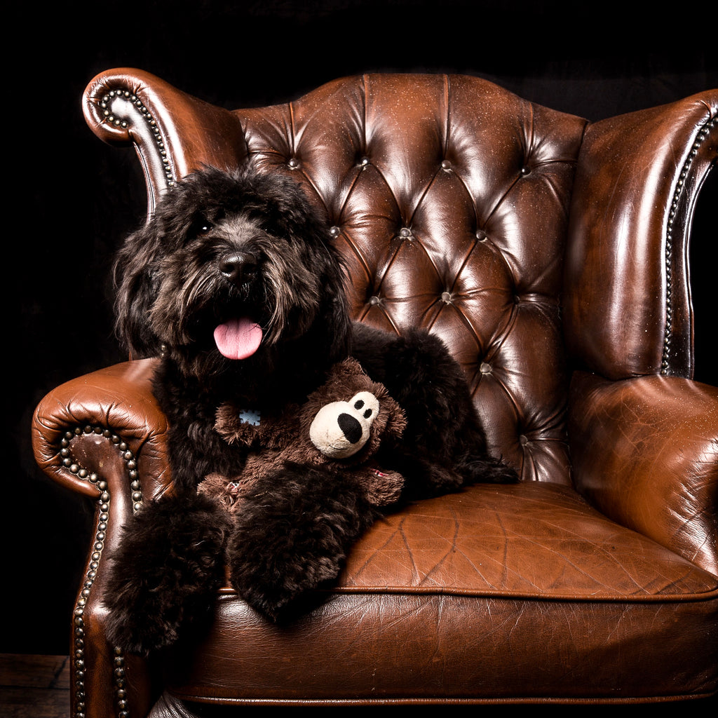 Adorable black Australian Cobberdog with teddybear on chair in studio waiting for his doodle dinner