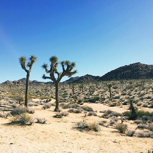 Joshua trees at Joshua Tree National Park, California.