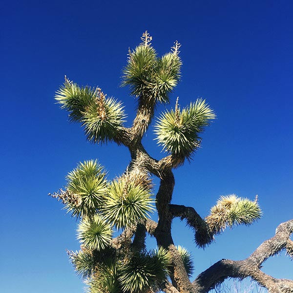Joshua tree with blue sky in Joshua Tree National Park, California.