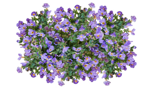 Bacopa Monnieri (Greater than 50% Bacopasides)