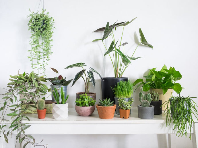 Top 10 Indoor Plants -Known to Bring You Good Health, Love and Good Luck