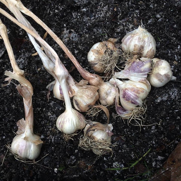 Grow Your Own: Garlic