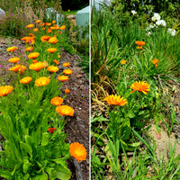 Two rows of Calendula plants side by side on a hillside