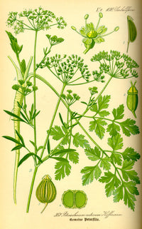 Parsley - ancient herb, modern powerhouse