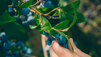 Plant a powerhouse of antioxidants: Blueberries