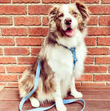 border collie harness