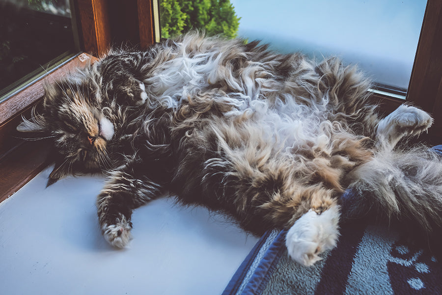 Really fluffy cat relaxing on its back