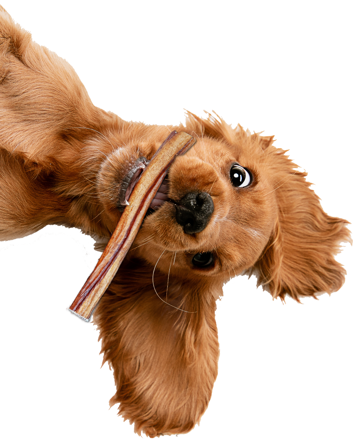 Puppy with bully stick in mouth
