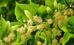 Linden Flower and Leaf: A Family Plant