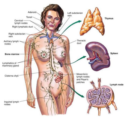 Lymphatic System - The Most Important Puzzle Piece Of The Body