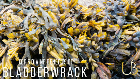 Top 5 Divine Benefits of Bladderwrack (POWERHOUSE SOURCE