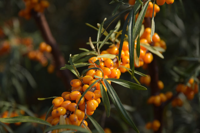 Just How Healthy Sea Buckthorn Really Is?