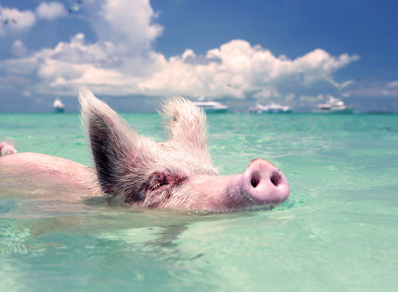 Swimming Pigs | Pig Beach, Exuma Bahamas