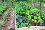 Kitchen Scraps to Vegetable Garden