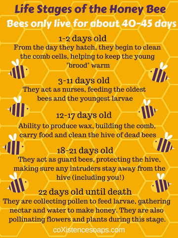 bee life stages phases days duties timeline