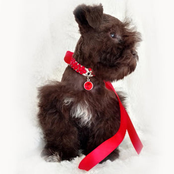 products/taras_schnauzers_paradise_red_collar_f2a97579-9ed4-42e7-a14a-3cf07e4cce36.jpg