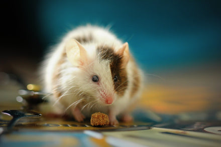 Dealing with rodent droppings in your home