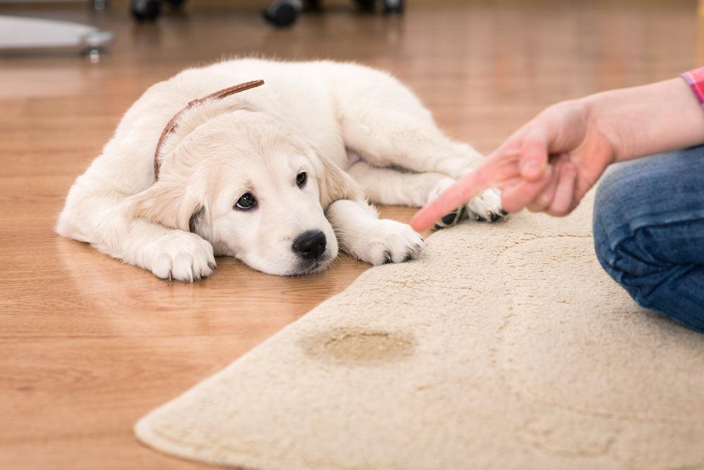 Get old pet stains out of carpet
