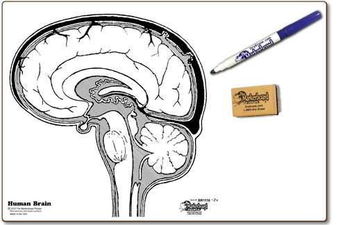 HUMAN BRAIN DOUBLE SIDED DRY ERASE,  11