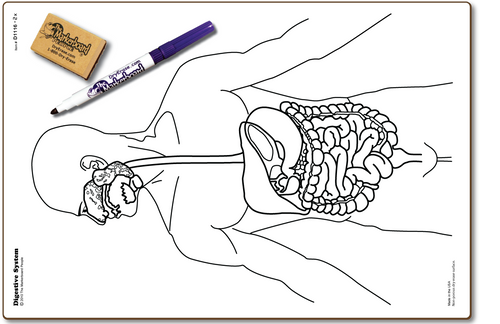 DIGESTIVE SYSTEM DOUBLE SIDED DRY ERASE,  11