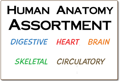 HUMAN ANATOMY ASSORTMENT, DOUBLE SIDED DRY ERASE,  11