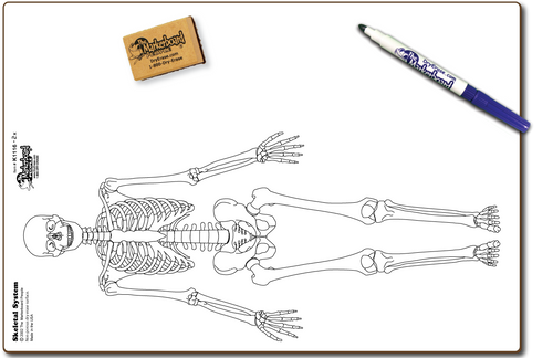 SKELETAL DOUBLE SIDED DRY ERASE,  11