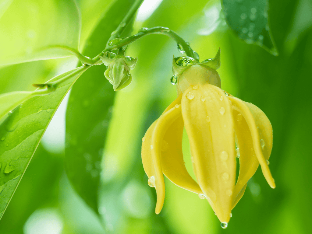 What is Ylang-Ylang - What is its Scent?