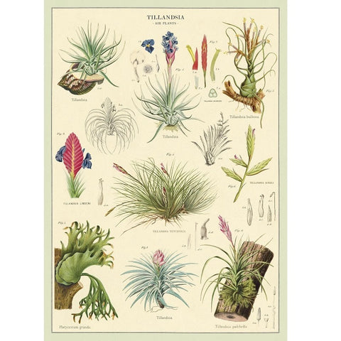 Poster/Wrap - Air Plants