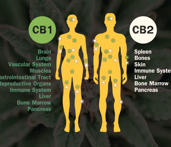CBD Anatomy: Get to Know Your Endocannabinoid System