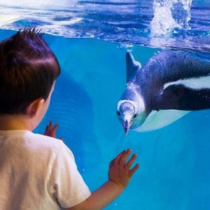 Young boy with dark hair watching a penguin play, swimming at Sydney aquarium