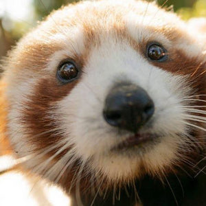Caperly-childrens-activities-Symbio-wildlife-park-zoo_2_red_pandas