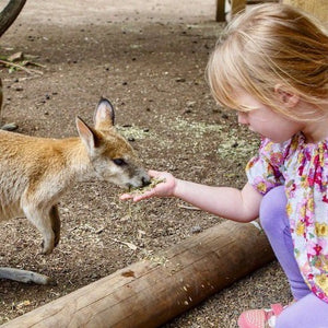 Toddler girl holding out her hand, feeding a kangaroo experiencing Australian wildlife