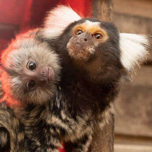 Load image into Gallery viewer, Caperly-childrens-activities-Symbio-wildlife-park-zoo_2_pygmy_marmoset_monkeys