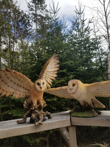 pair of barn owls for sale