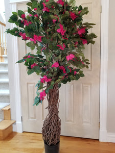 bougainvillea tree with multiple vines for sale