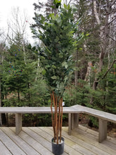 Load image into Gallery viewer, 7 foot sakaki tree for sale
