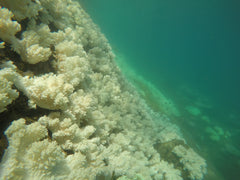 Bleached Coral Great Barrier Reef 2017